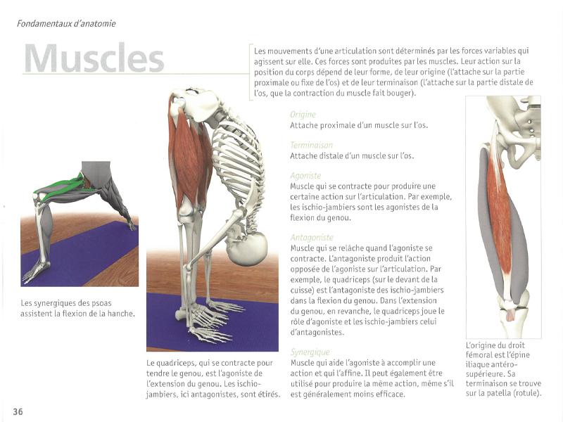 Yoga Anatomy - The Muscles | Chin Mudra SAS | France | Yoga Accessories